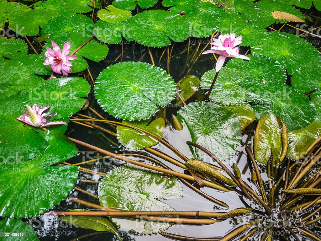 Old pond with lotus in The famous temples at Thailand photo libre de droits