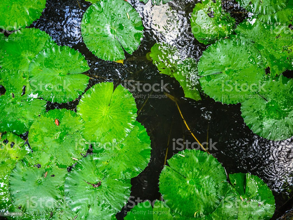 Old pond with lotus in The famous temples at Thailand. foto stock royalty-free