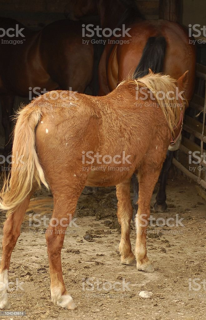 Old Pony with Cushing's Disease stock photo