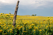Wild flower field in western Kansas, with fence and old wooden post.