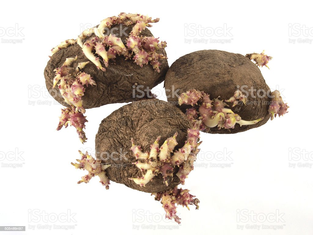 Old potatoes that have started sprouting . royalty-free stock photo