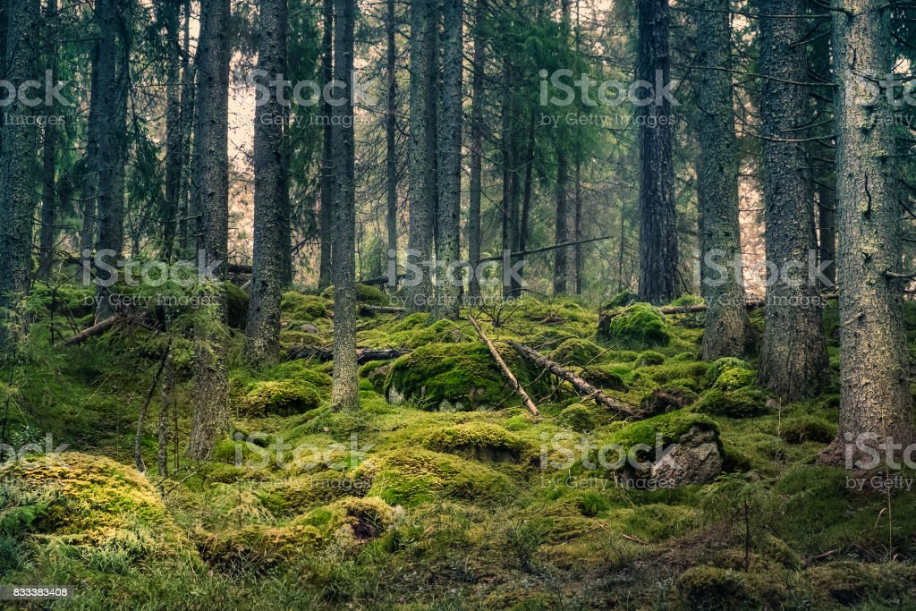 Viejo bosque con agradables luces y sombras foto de stock libre de derechos