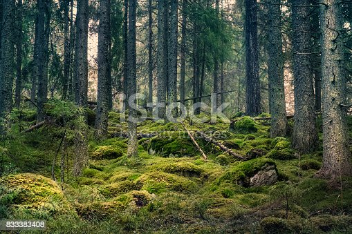 Old primeval forest with nice lights and shadows