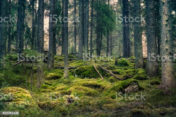 Photo of Old primeval forest with nice lights and shadows