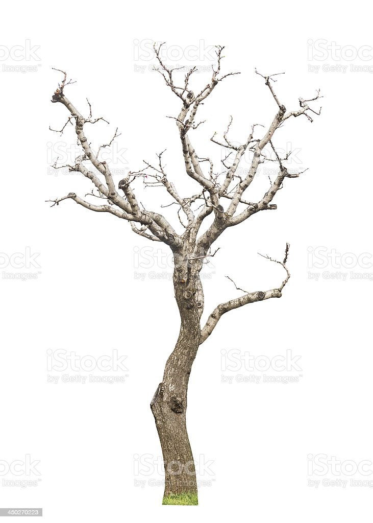 Old pruned tree stock photo