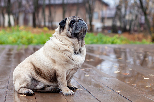 old pug sits on a wooden floor in the autumn park
