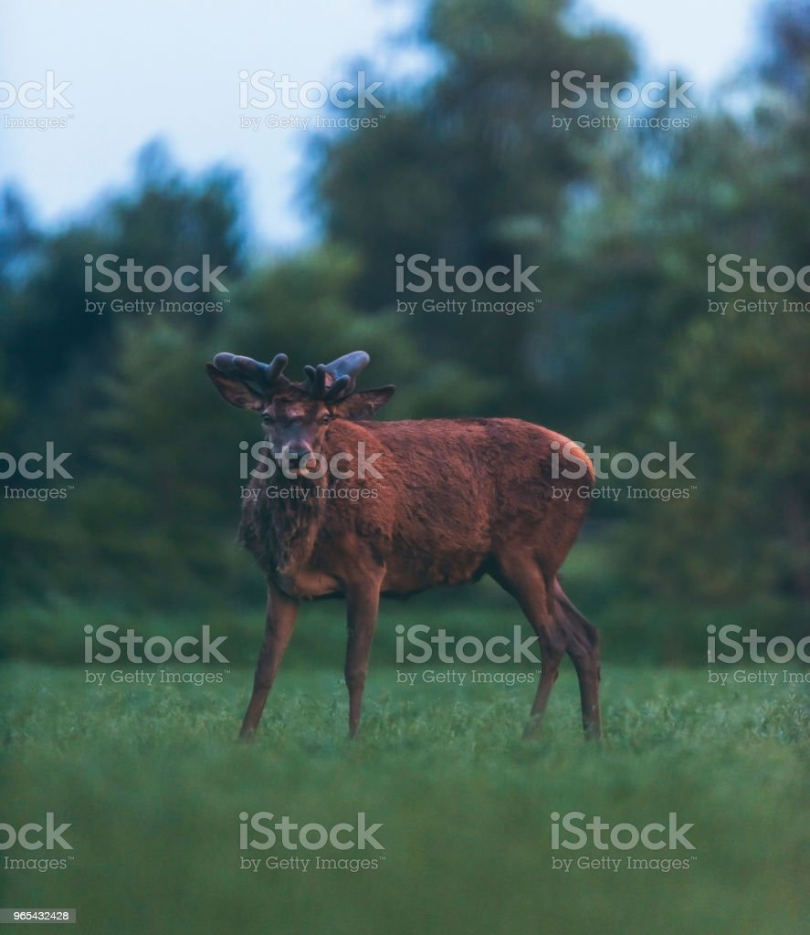 Old red deer stag standing in spring landscape. royalty-free stock photo