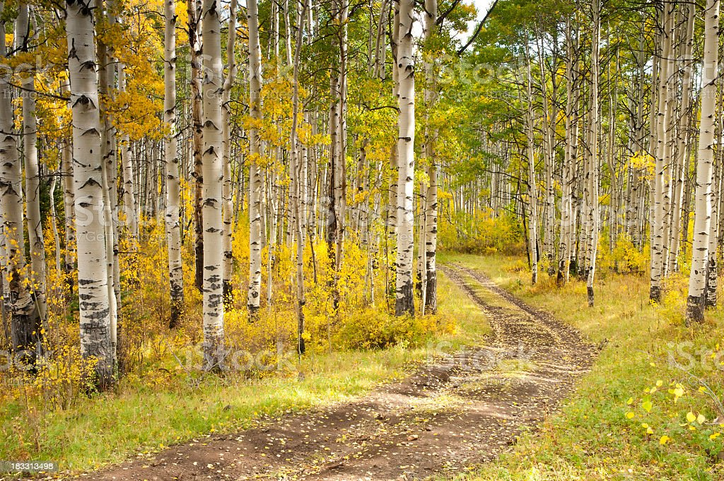 Old road during fall through aspens stock photo