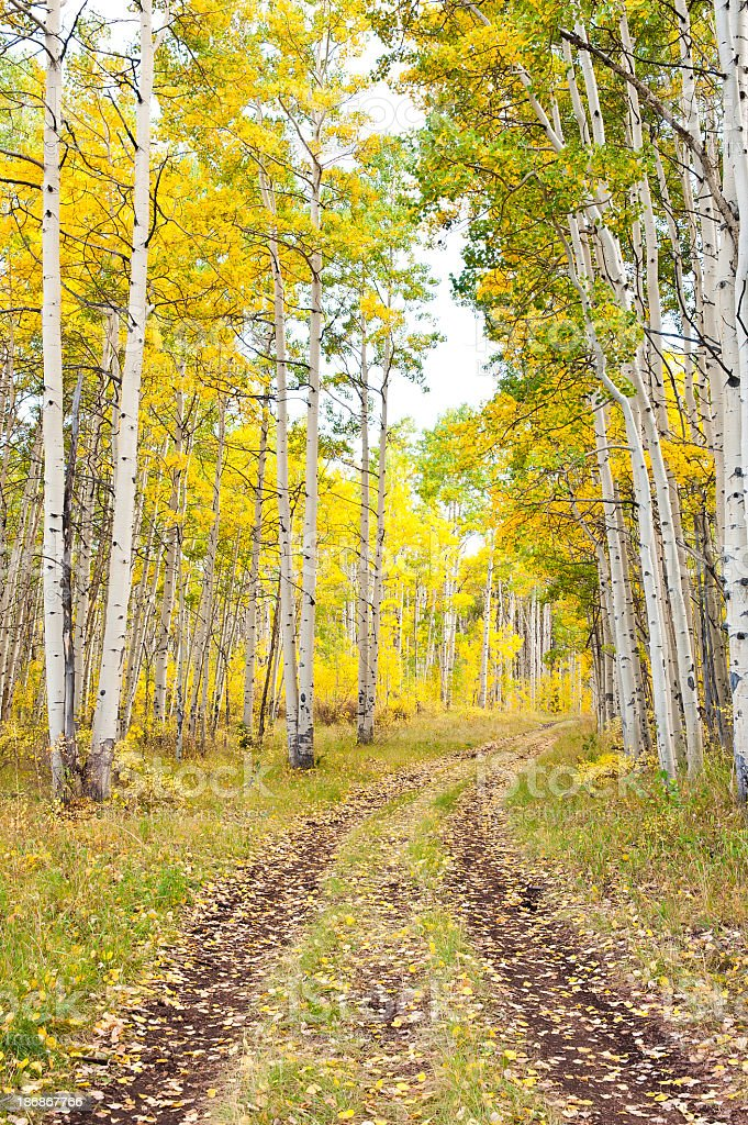 Old road through aspens during fall stock photo