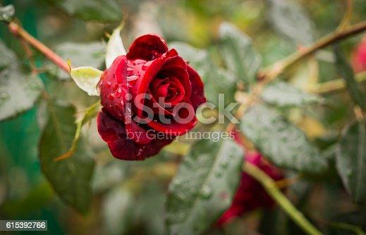istock Old rose garden in the autumn rain 615392766