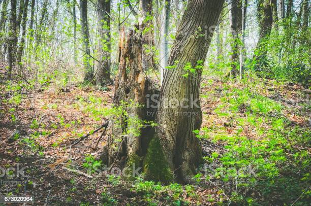 Photo of Old rotten tree in the fairy tale forest.