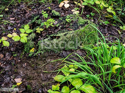 istock old ruined stump overgrown with moss lichen and grass 1272121908