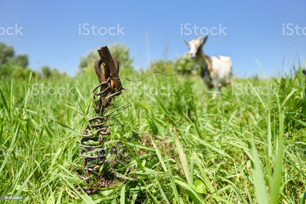 Old rusty metal rod sunk in the ground on the meadow, goat is grazing on the chain, soft background with copyspace for text - Royalty-free Agricultural Field Stock Photo