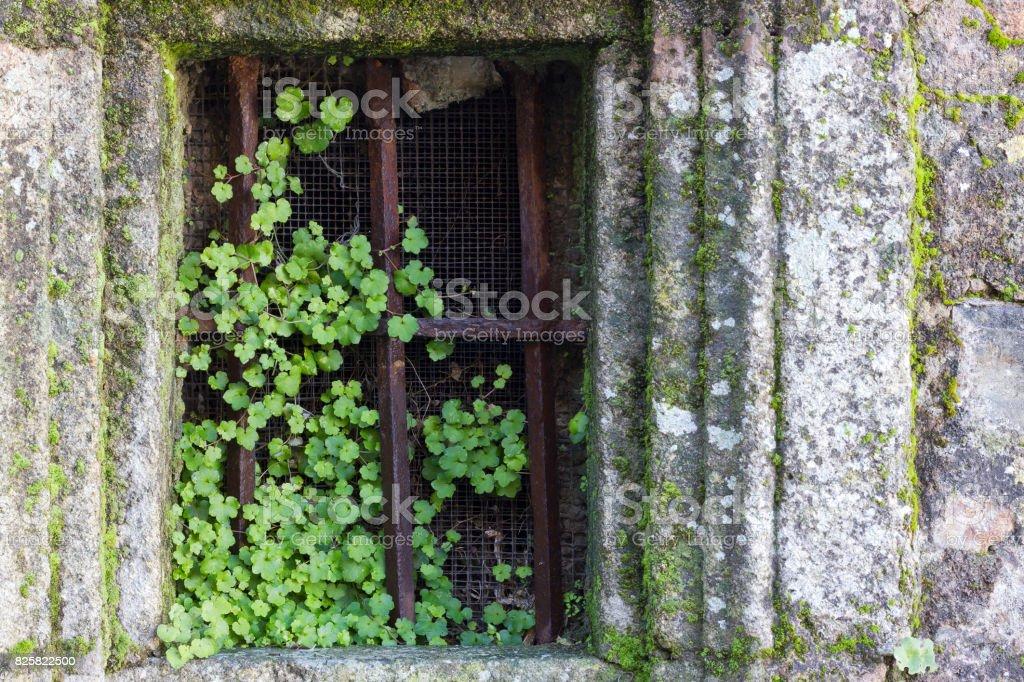 Viejas ventanas oxidados cubiertos por las plantas verdes - foto de stock