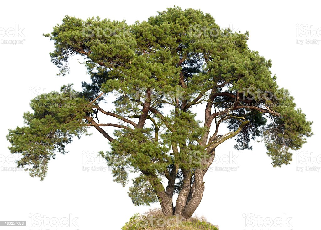 Old Scots Pine (Pinus sylvestris)  isolated on white. stock photo