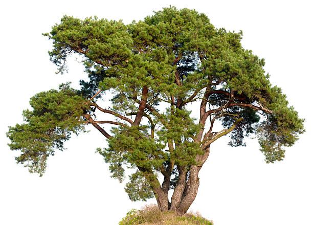 old scots pine (pinus sylvestris)  isolated on white. - fur bildbanksfoton och bilder