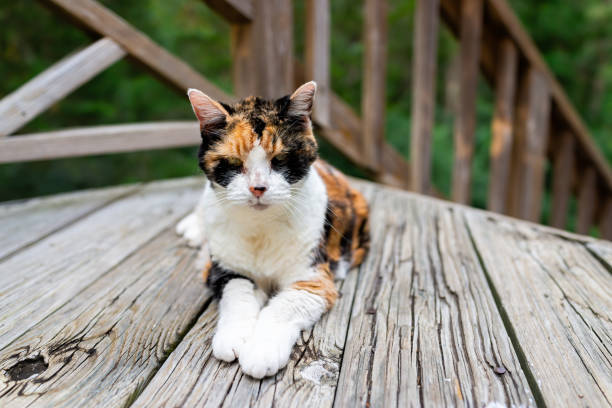 Old senior calico cat lying down on wooden deck terrace patio in outdoor garden of house on floor looking at camera stock photo