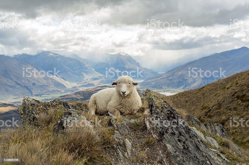 Old sheep lies on mountain ridge stock photo