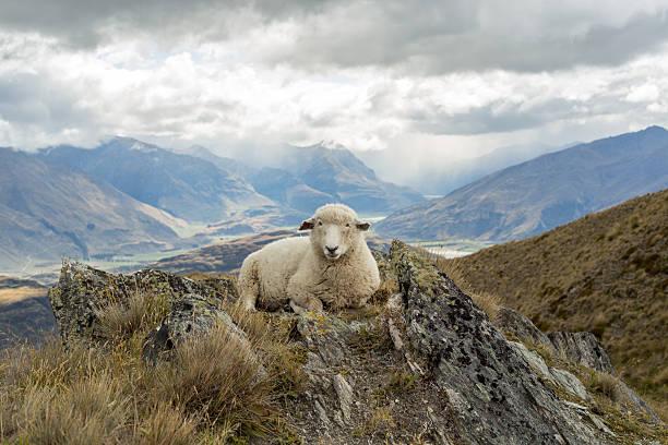 Antiguo ovejas se encuentra en la cresta - foto de stock