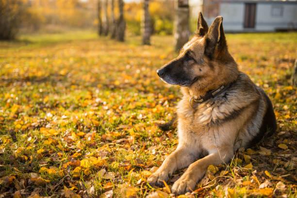 old shepherd dog at the autumn background stock photo