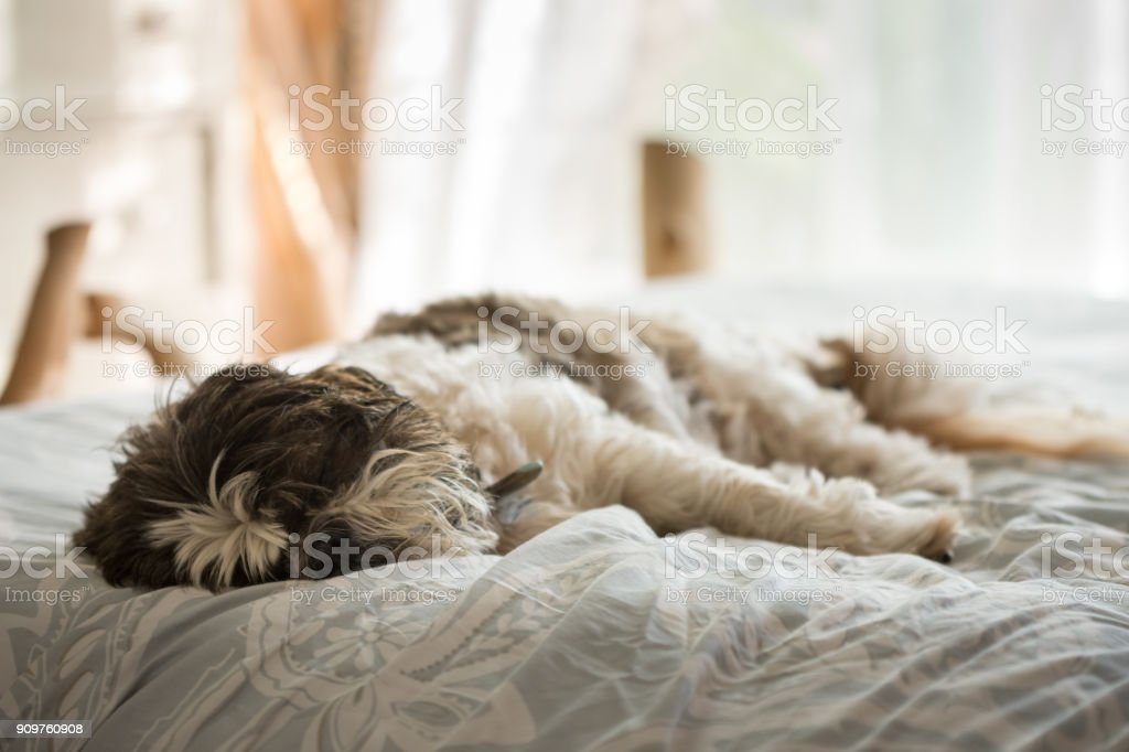 Old Shih Tzu dog sleeping on bed stock photo