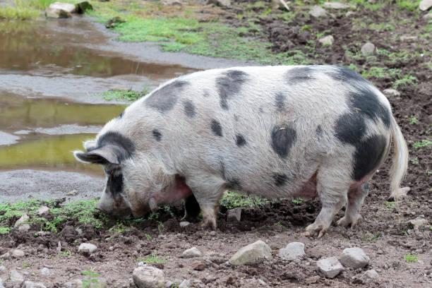 old spot pig - scrofa foto e immagini stock