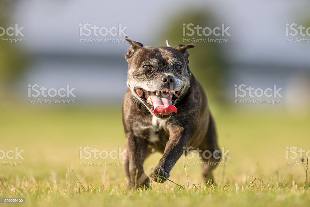 Old Staffordshire Bull Terrier stock photo