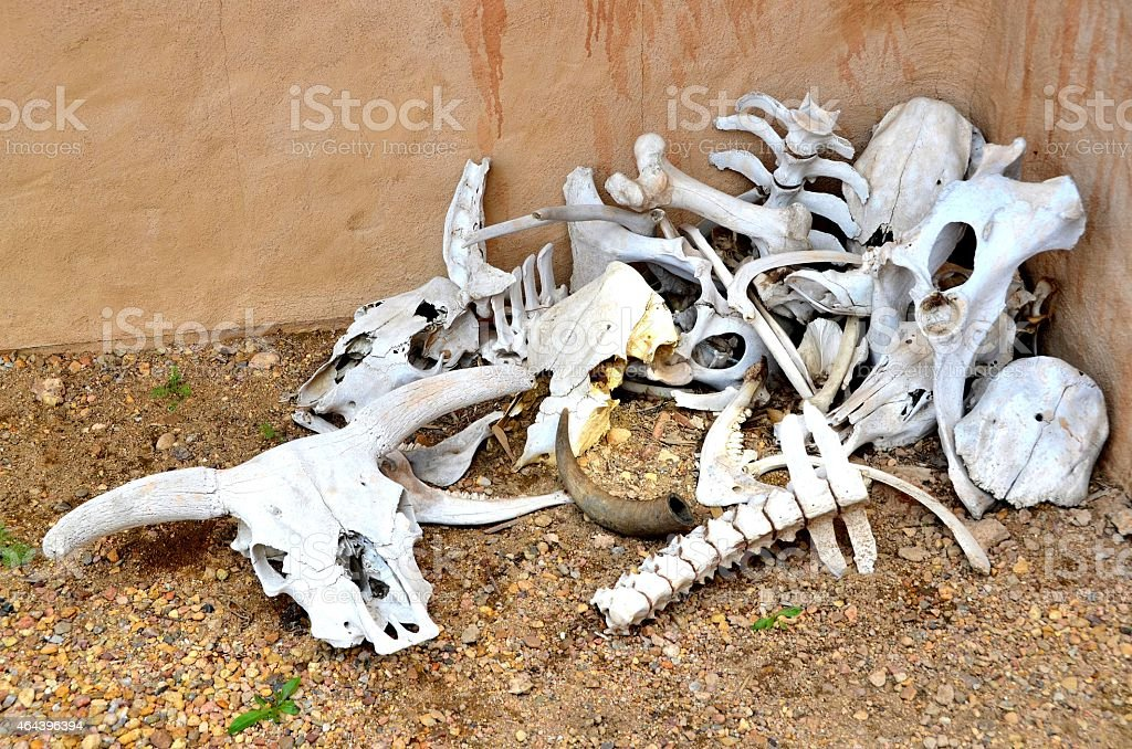 Royalty Free Cow Skeleton Pictures  Images And Stock