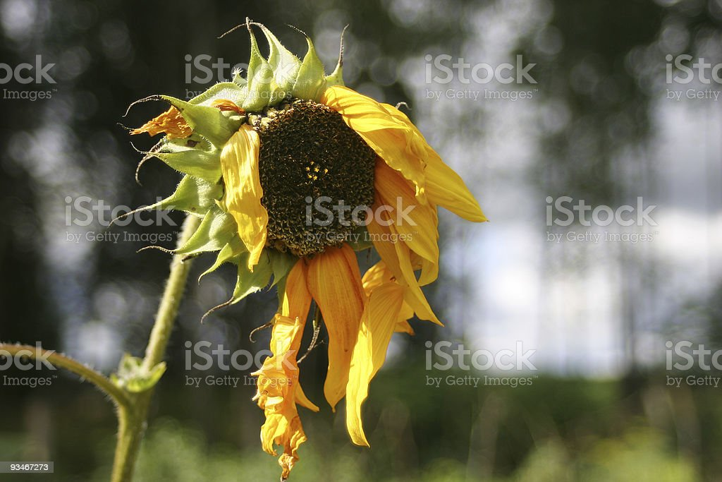 Old Sunflower royalty-free stock photo