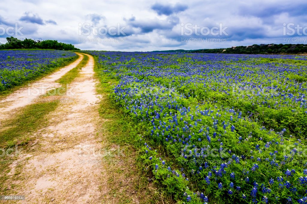 Old Texas Dirt Road in Field of  Texas Bluebonnet Wildflowers at Muleshoe Bend. - Royalty-free Agricultural Field Stock Photo