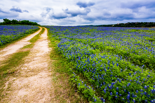 Old Texas Dirt Road In Field Of Texas Bluebonnet Wildflowers At Muleshoe Bend Stock Photo - Download Image Now