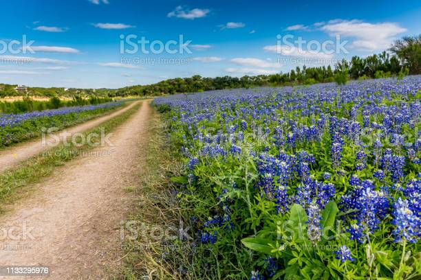 Photo of Old Texas Dirt Road in Field of  Texas Bluebonnet Wildflowers