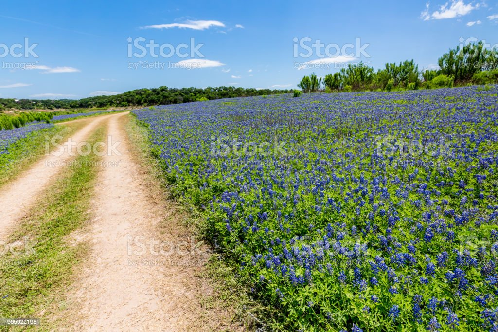 Old Texas Dirt Road in Field of  Texas Bluebonnet Wildflowers - Royalty-free Agricultural Field Stock Photo