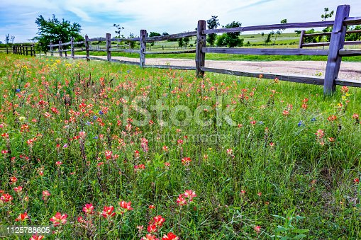 Old Texas Wooden Fence in a Beautiful Field Full of Bright Orange Indian Paintbrush and Other Wildflowers in Texas.  Castilleja foliolosa.