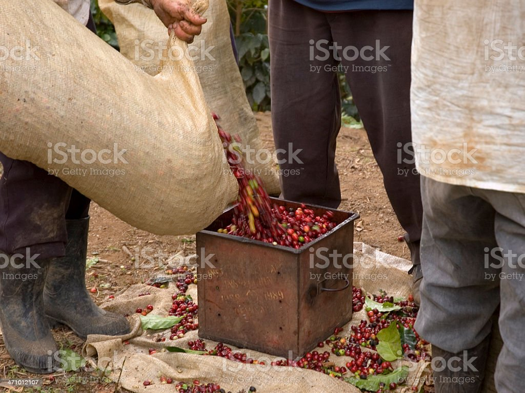 Old tin being filled with unprocessed coffee beans stock photo
