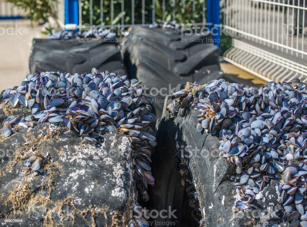 Old tires on the beach. Fenders overgrown with shells. stock photo