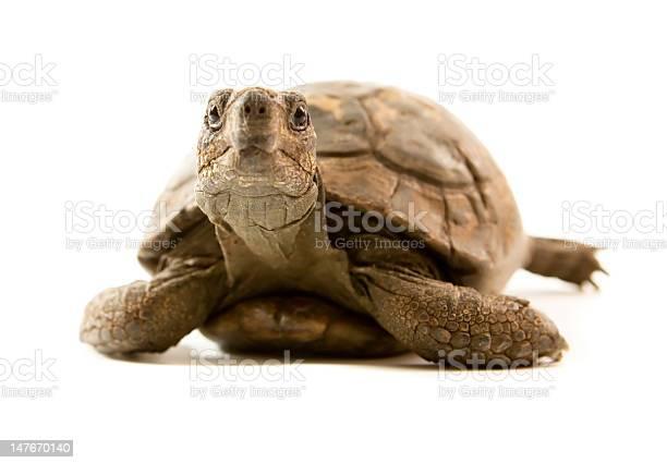 Old tortoise looking at camera with staring eyes picture id147670140?b=1&k=6&m=147670140&s=612x612&h=r ctrqivz2jfxtan38cfewvebyelsy9gp8ugb70gff8=