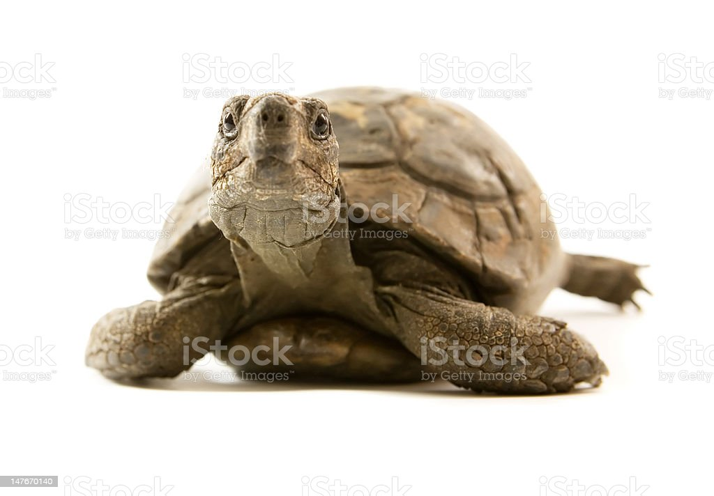 Old tortoise looking at camera with staring eyes stock photo