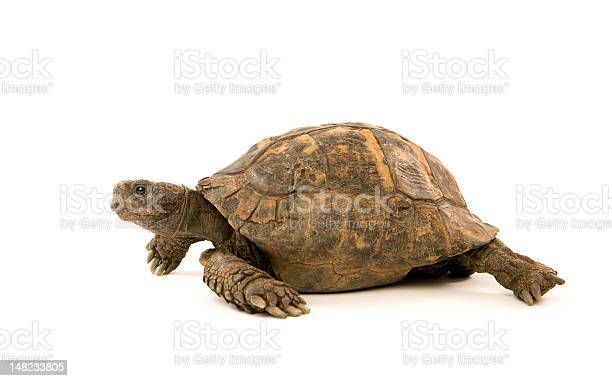 Old tortoise with a worn and battered shell picture id148233805?b=1&k=6&m=148233805&s=612x612&h=qh5q liqu1br9dl hpikym4hmq1cevrxg7qghtzjy48=