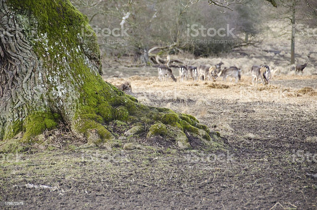 Old tree and fallow deers royalty-free stock photo