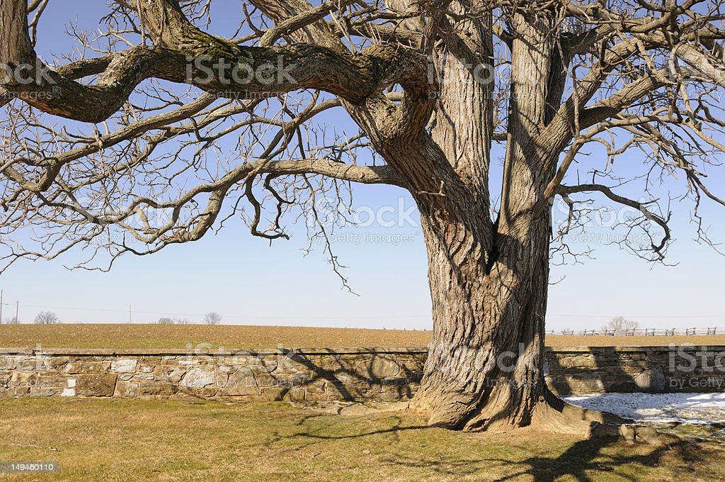 Old Tree and Stone Fence royalty-free stock photo