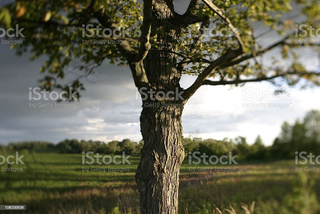 Old tree at sunset royalty-free stock photo