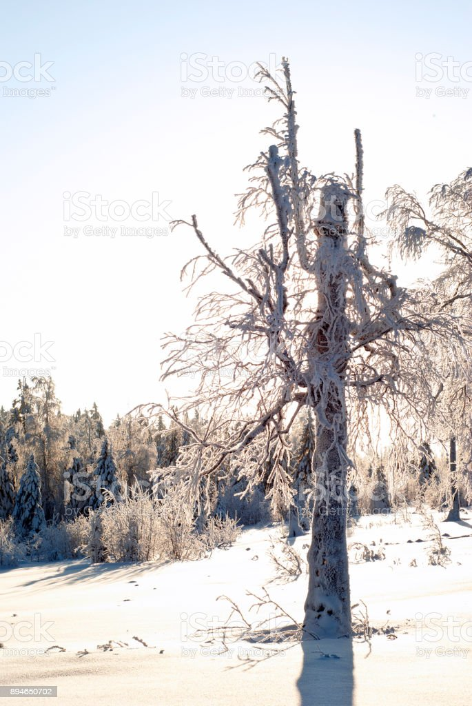old tree in a winter glade stock photo