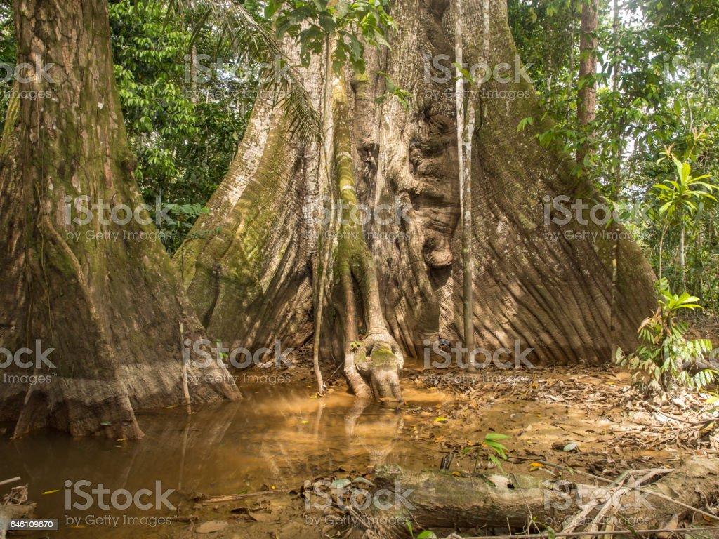 Old tree in Amazaon jungle stock photo
