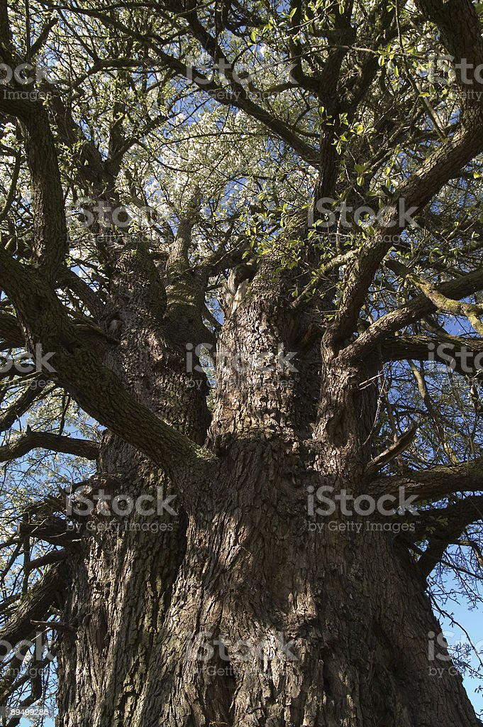 Old tree in blossom royaltyfri bildbanksbilder