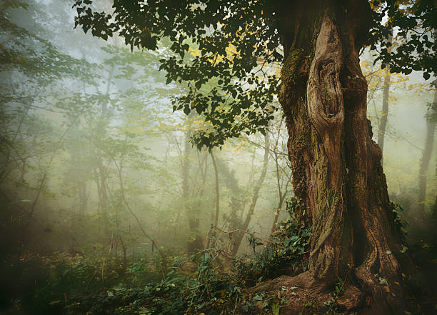 Old tree in misty forest stock photo