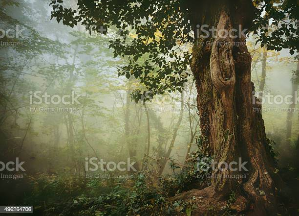 Photo of Old tree in misty forest
