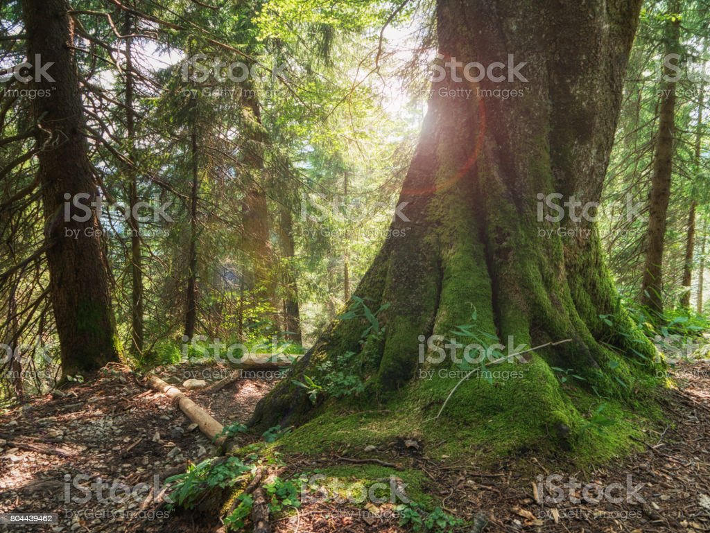 Old tree in the mountain stock photo