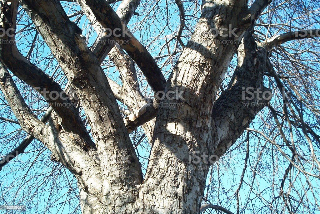 Old tree in winter royalty-free stock photo