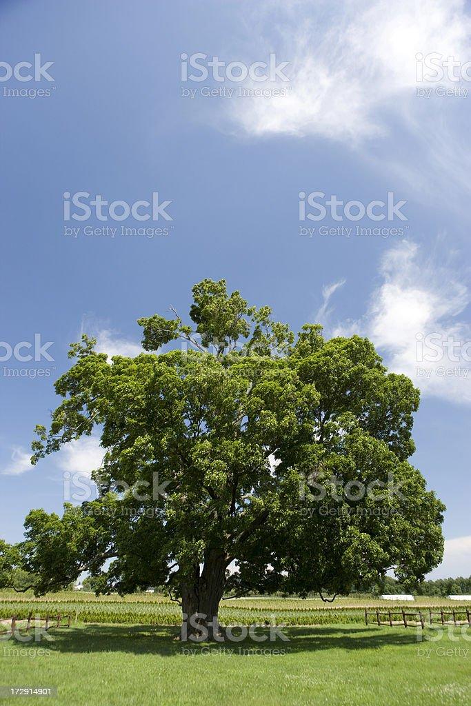 Old tree on a farm royalty-free stock photo